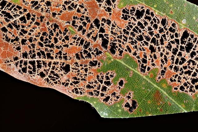 This defoliated leaf is the kind of insect damage you get from NON native insects like the Japanese Beetle. photo credit: Sam Droege via photopin cc