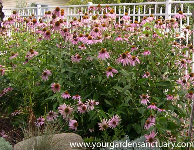 Perennial Purple-Coneflower