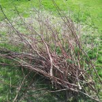 Pruning debris from the redtwig dogwood.