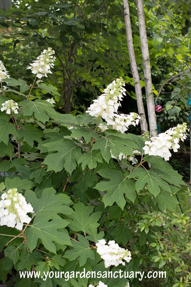 Garden texture oakleaf hydrangea coarse
