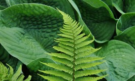 Bold textured Hosta leaf and fine textured fern photo credit: ngawangchodron via photopin cc