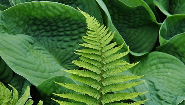 Bold textured Hosta leaf and fine textured fern photo credit: ngawangchodron via photopin cc