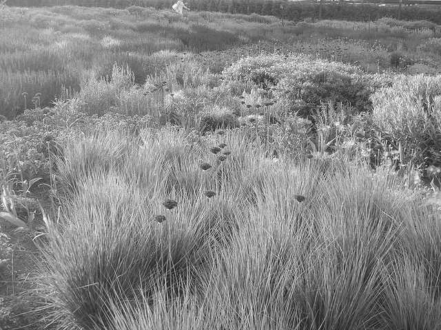 Using plant textures in your garden fine textured plants in BW