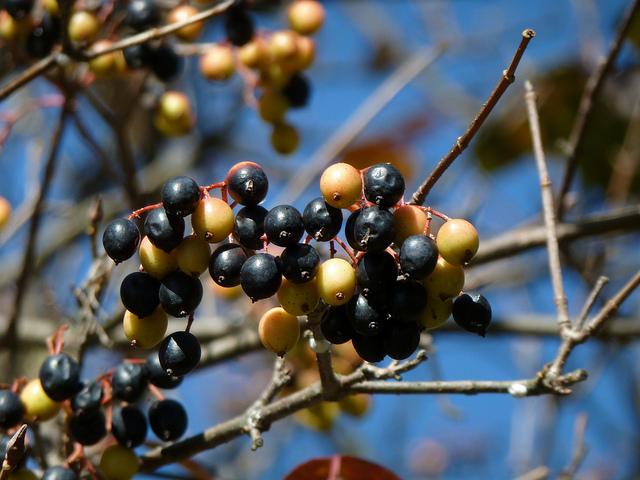 Nannyberry fruit
