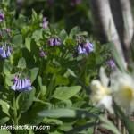 Virginia Bluebells and Ice Follies Daffodils