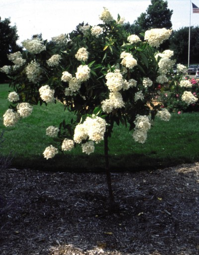 landscapers favorite hydrangeas are shrubs for summer. Black Bedroom Furniture Sets. Home Design Ideas