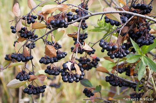 Red vs black chokeberry: Aronia melanocarpa fruit