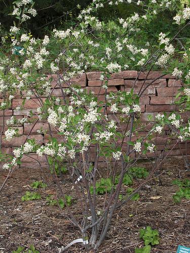 Red vs Black Chokeberry: Aronia arbutifolia in flower