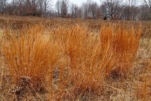 Schizachyrium scoparium forms the backbone of prairies, meadows and our simple plant combo.