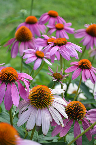 echinicea purpurea can be used in many simple plant combinations