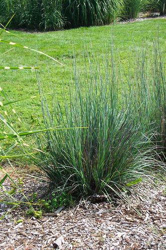 Little Bluestem (Schizachyrium scoparium) in Summer.