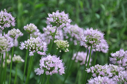 Summer Beauty Ornamental onion makes a great half of a simple plant combo with Prairie Dropseed.