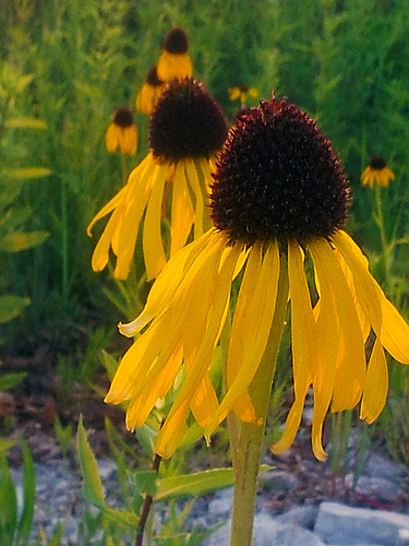 Yes, Virginia there is a Yellow Echinacea.