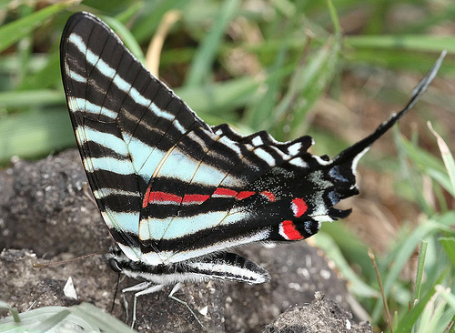 Zebra Swallowtail on paw paw photo