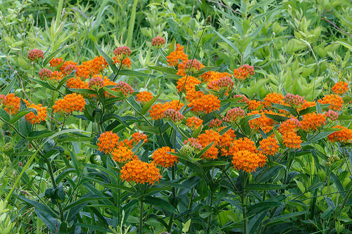 12 Perennials for Attracting Butterflies in the Midwest: Butterfly Weed