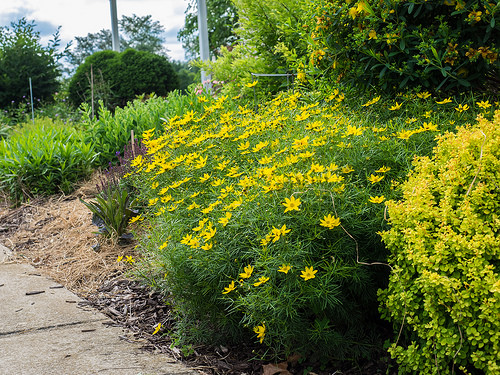 12 Perennials for Attracting Butterflies in the Midwest: Zagreb coreopsis