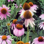 12 Perennials for Attracting Butterflies in the Midwest