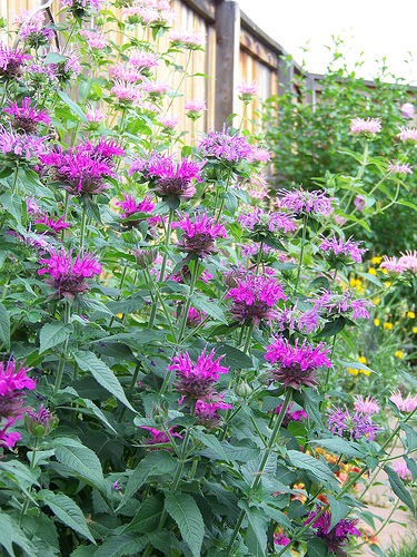 12 Perennials for Attracting Butterflies in the Midwest: bee balm