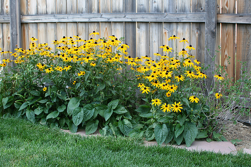 12 Perennials for Attracting Butterflies in the Midwest: black eye susan