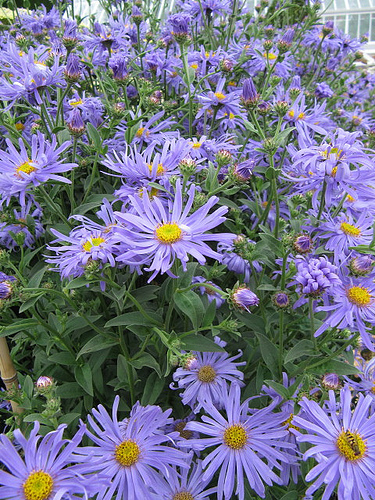 12 Perennials for Attracting Butterflies in the Midwest: Aster