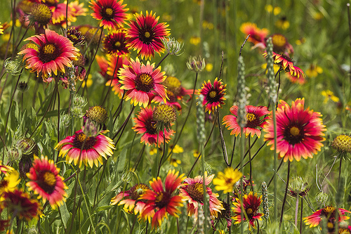 12 Perennials for Attracting Butterflies in the Midwest: blanket flower