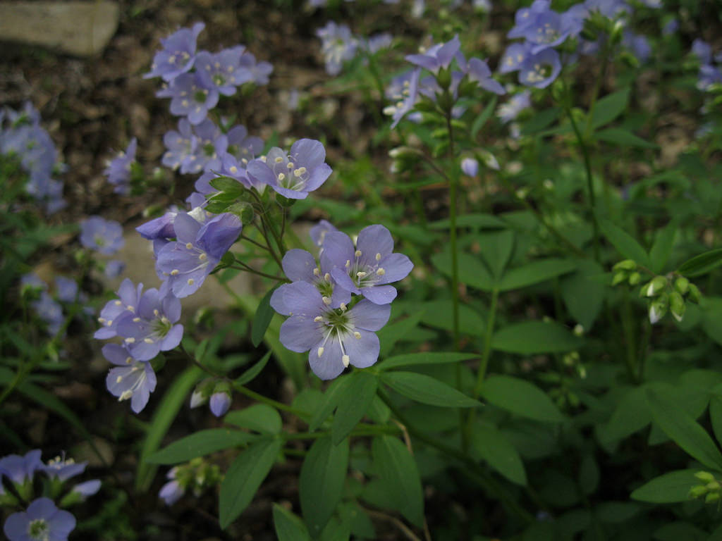 Jacob's ladder (Polemonium reptans) makes an attractive native groundcover