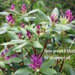 Pruning Rhododendrons for dense growth