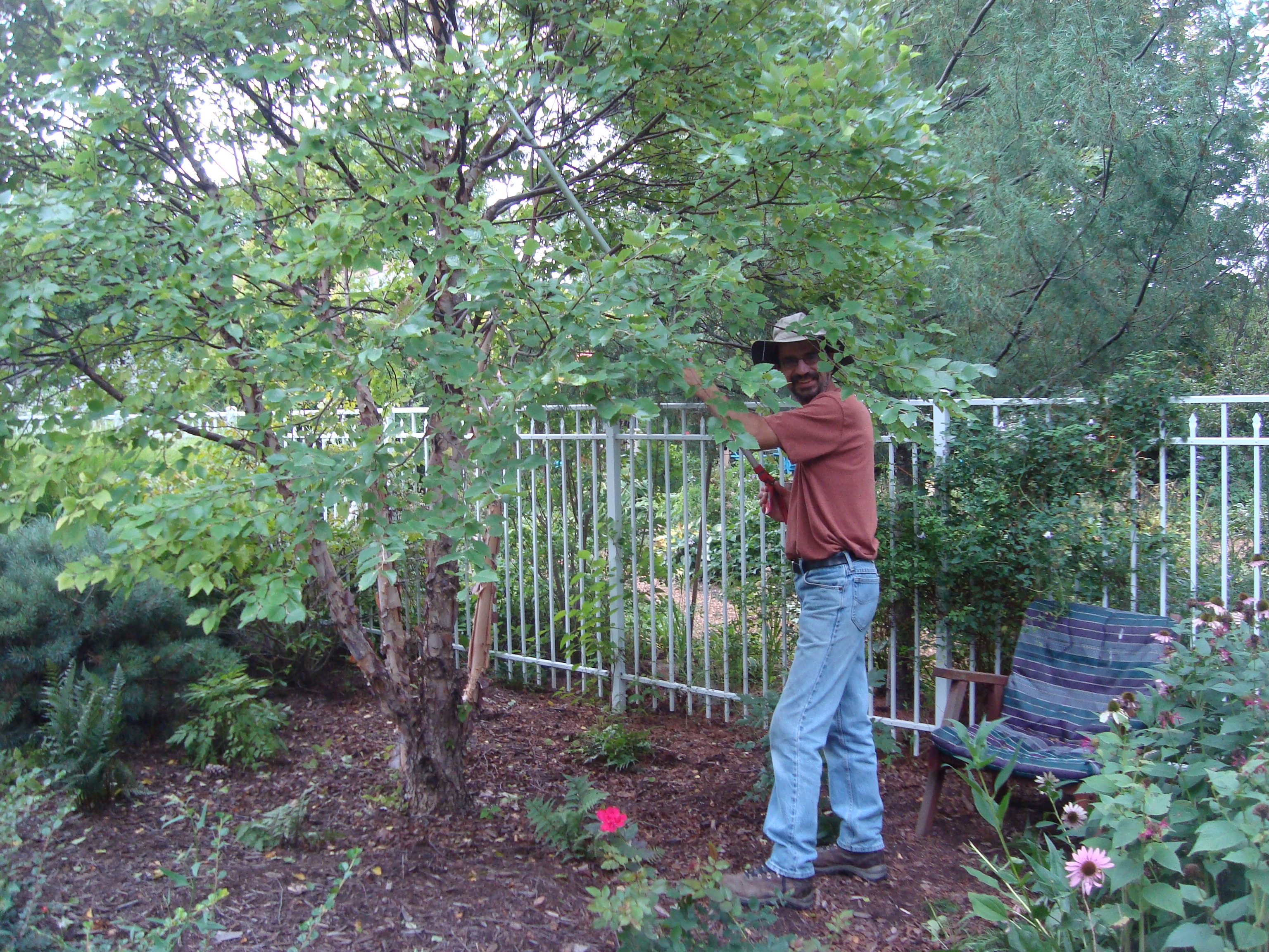 Pruning The Dwarf River Birch