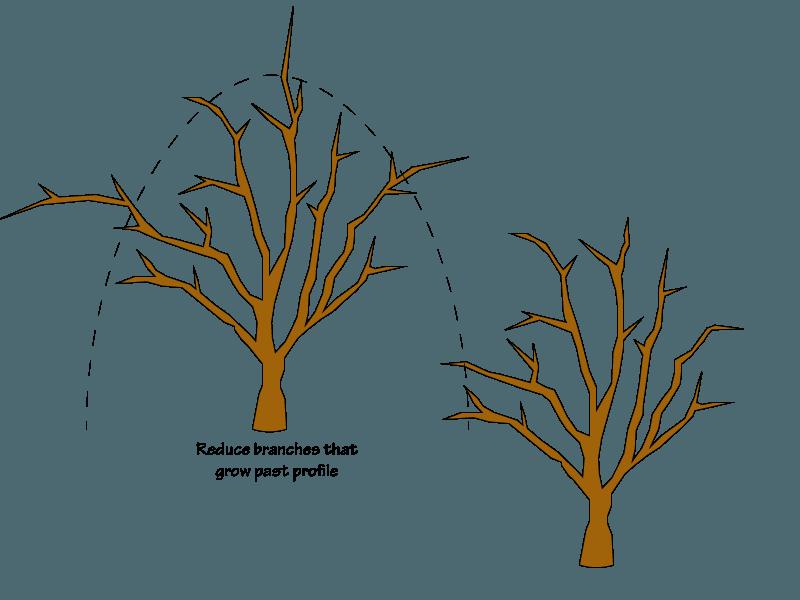 Crabapple pruning - reducing to profile