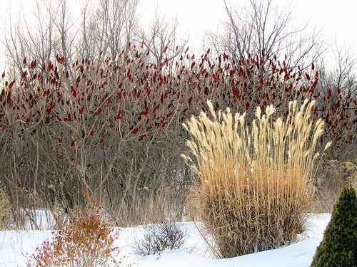 little bluestem winter photo