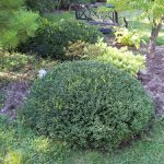 What is the best evergreen shrub for your foundation?