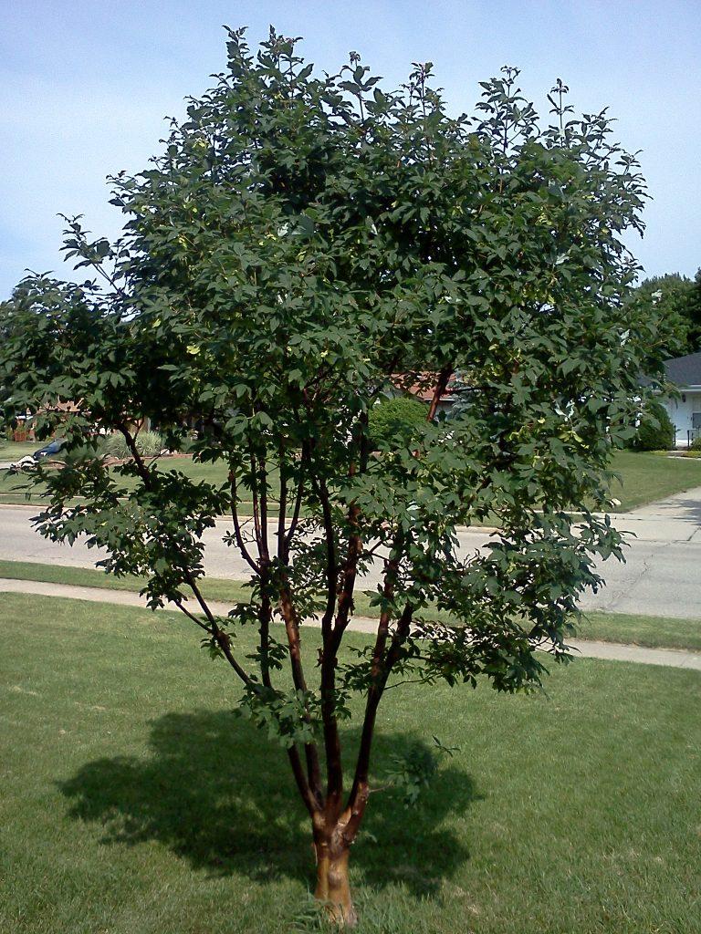 Acer griseum Paperbark maple form