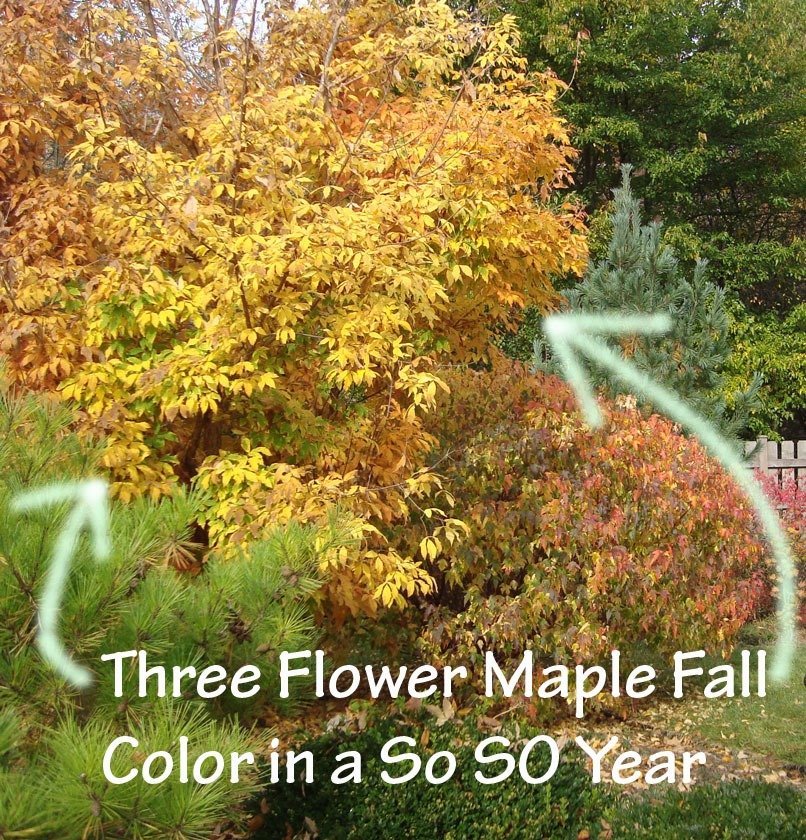 Acer Triflorum fall color - Three flower maple fall color