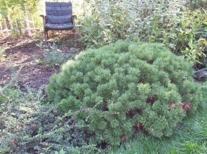 Pinus mugo 'Enci'
