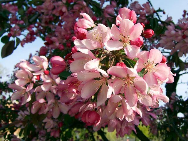 four season interest crabapple flowers
