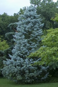 top native evergreen trees - Candicans concolor fir