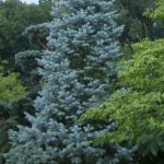 Three top native evergreen trees for four season gardens