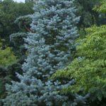 Three top native evergreen trees for four season gardens