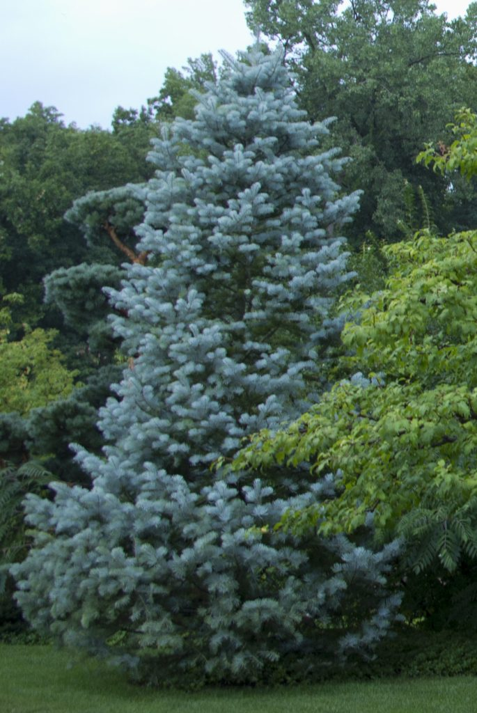 Three top native evergreen trees for gardens for The evergreen