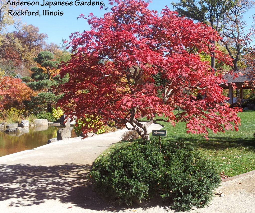 Plants for fall color - Acer japonicum 'Aconitifolium'