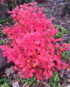 Plants for fall color- Fothergilla gardenii