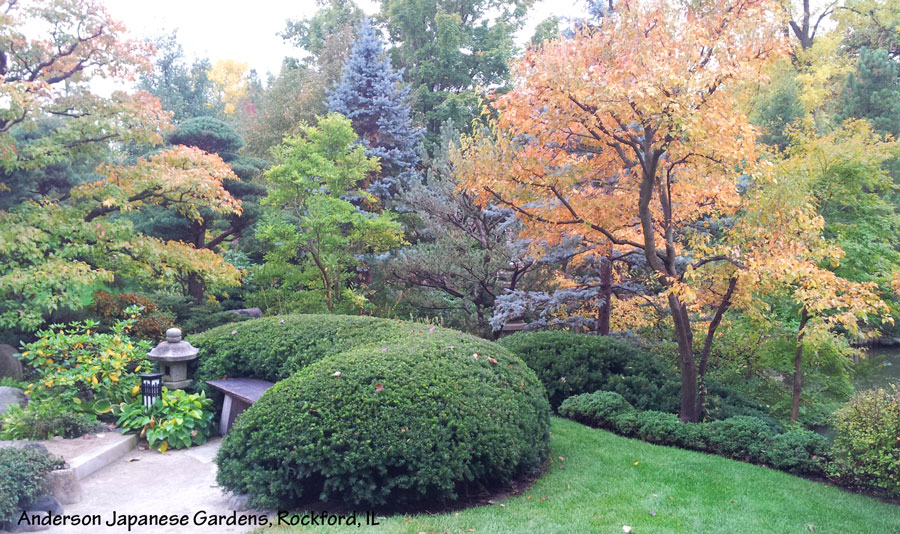 Non Native Plants for Landscaping Evergreen Shrubs