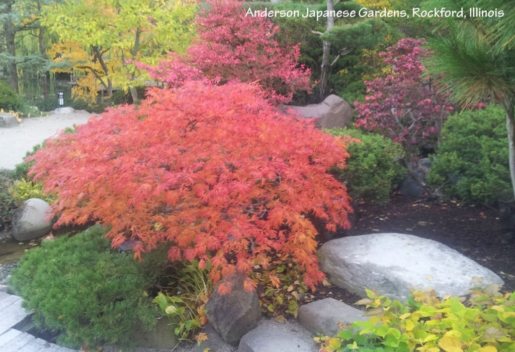 Plants for fall color - Acer japonicum 'Green cascade'