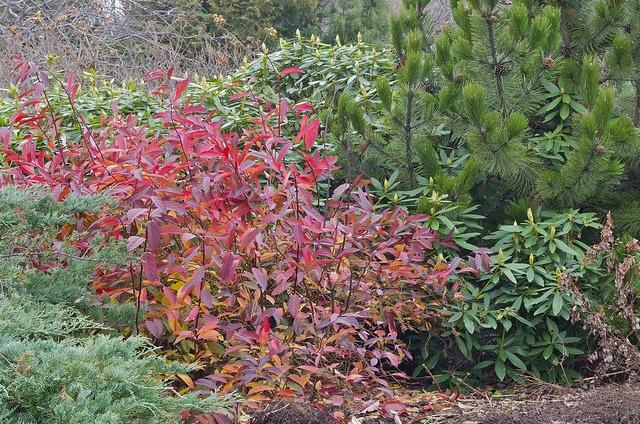 Shrubs for fall color Itea Virginica