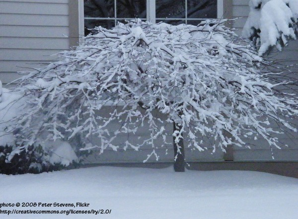 Architectural Plants Weeping Japanese maple in winter