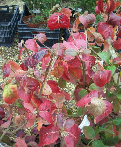 Plants for fall color - Korean spice viburnum