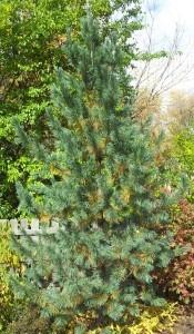 Architectural Plants Vanderwolf's limber pine
