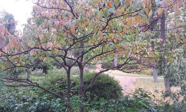 Architectural Plants Pagoda dogwood