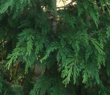 Top native evergreen trees - Sullivan falsecypress