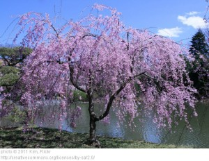 Architectural Plants Weeping cherry over pond